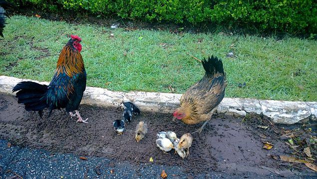 1 galinhas